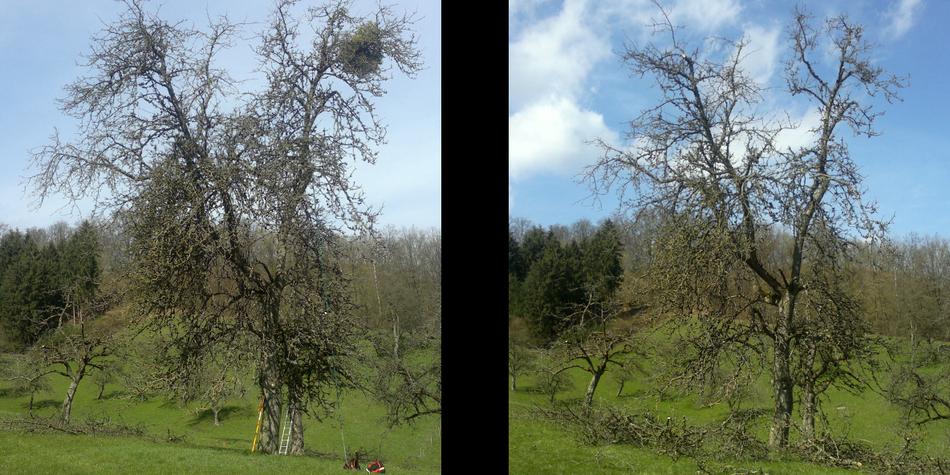 Apfelbaum, Altbaum, Obstbaumschnitt, vorher und nachher, statische Entlastung, Schwäbisch Hall
