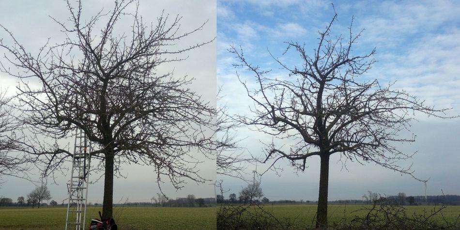 Apfelbaum, Altbaum, Obstbaumschnitt, vorher und nachher, Schwäbisch Hall