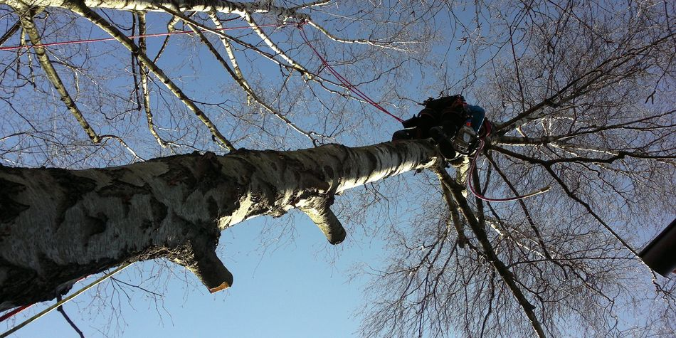 Fällung Birke, stückweises kontrolliertes Abtragen der Baumkrone über Hausdach, Seilklettertechnik, Steigeisen, skt, problembaumfällung, Schwäbisch Hall