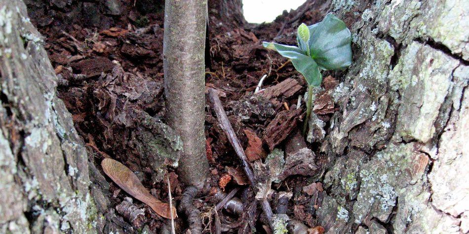 Baumkontrolle, Buchensämling und kleine Eberesche wachsen an Birnenaltbaum im Kronenansatz, Schwäbisch Hall