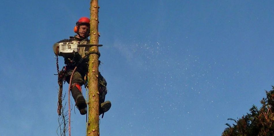 Fällung, Problembaumfällung, Fichte, Seilklettertechnik skt, Steigeisen, Motorsäge im Baum, stückweises abtragen der Baumkrone von oben nach unten, Schwäbisch Hall