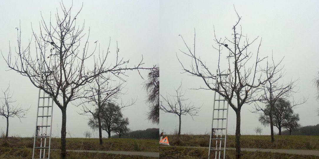 Apfelbaum, Jungbaum, Obstbaumschnitt, vorher und nachher, Schwäbisch Hall