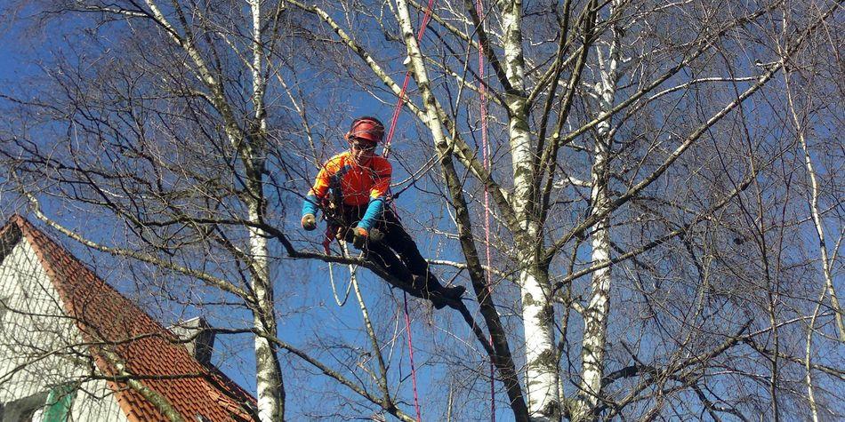 Seilklettertechnik skt, Baumpflegemaßnahme, Birke, Schwäbisch Hall