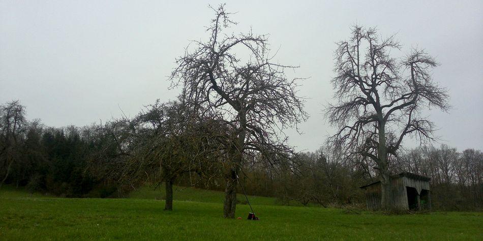 Birnenaltbaum, Apfelaltbaum, Streuobstwiese, Pflegemaßnahme, Schwäbisch Hall