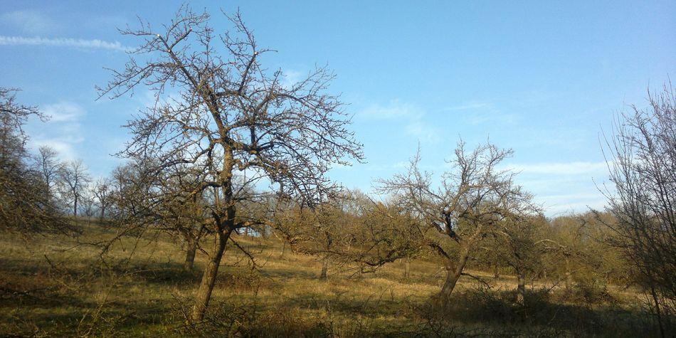Streuobstwiese, Altbäume im Winterzustand, Crailsheim, Pflegemaßnahme, Schwäbisch Hall