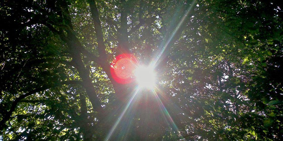 Walnusskrone, großer Baum, Gegenlicht, Laubdach, Schwäbisch Hall